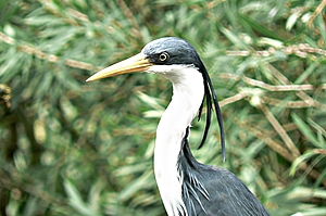 Pied Heron with white neck, yellow bill, black back and feathers behind head