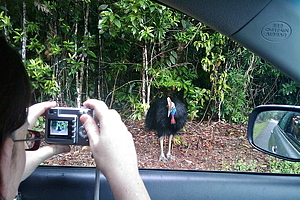 Southern Cassowary near car in Daintree rainforest, tourists with camera
