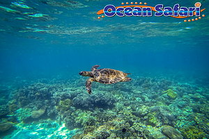 Underwater view of turtle and reef on Ocean Safari tour