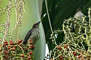 Metallic Starlings with striped breasts eating red berries