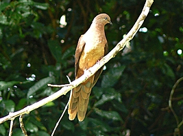 Brown Cuckoo-Dove with long tail on branch