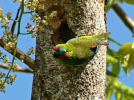 Male Double-eyed Fig-Parrot with green back, red and blue head patches outside nest in tree trunk