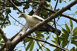 White and black Pied imperial Pigeon on branch