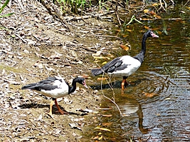 Two black and white Magpie Geese on dam at Daintree Valley Haven