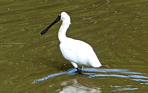 White Royal Spoonbill with black bill wading in water