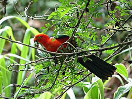 Red King-Parrot on twig at Daintree Valley Haven